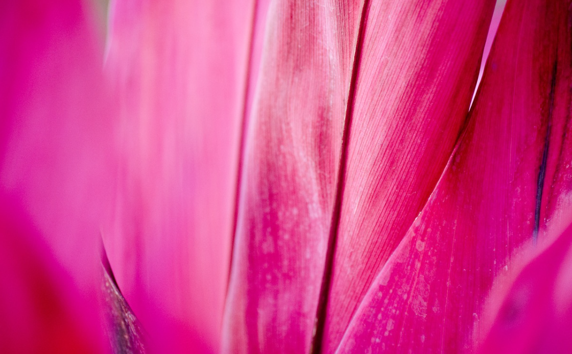 fuchsiový květ